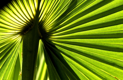 ... Backlit Palm Frond March 2005